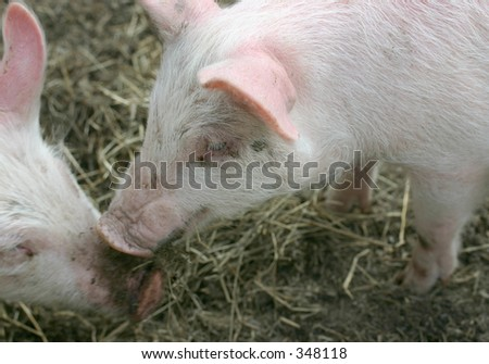 Kissing pigs