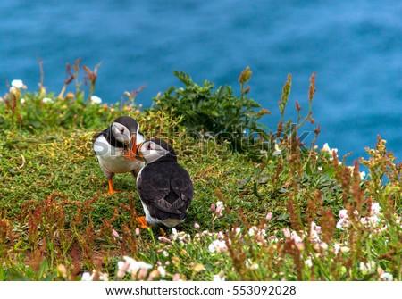 Kissing puffins at Skomer Island Wales