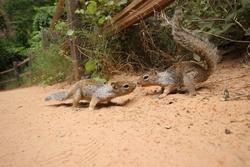 Kissing Squirrels at Zion National Park