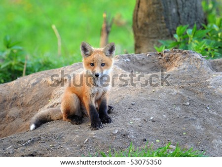 Kit fox in the wild, Indiana.