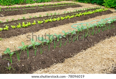 Kitchen Garden with seedlings and young greens