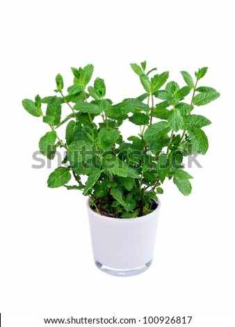 Kitchen herb mint in a pot - isolated