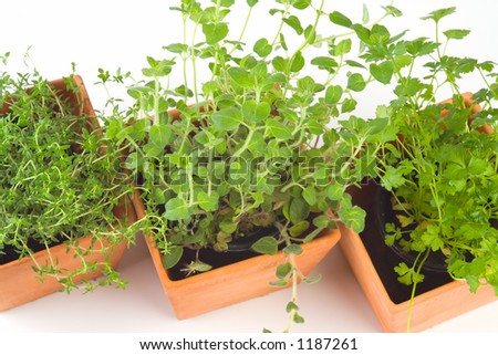 Kitchen herb pots, with Thyme, Oregano and Parsley