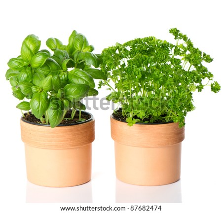 kitchen herbs basil and parsley in pots on white background