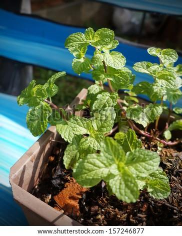 Kitchen Mint, Marsh Mint in a pot