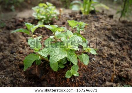 Kitchen Mint, Marsh Mint in vegetable garden