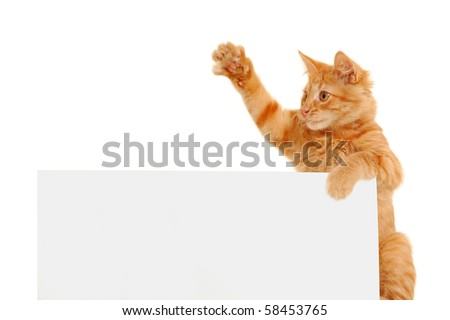 kitten agitator holding blank banner isolated on white background - stock photo
