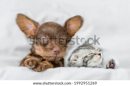Kitten and dachshund puppy sleep together under a white blanket on a bed at home. Top down view