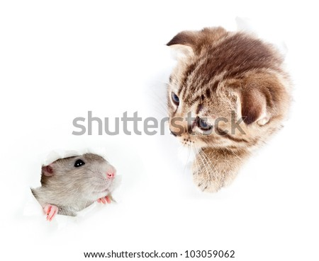 kitten and domestic rat looking out hole in  torn paper