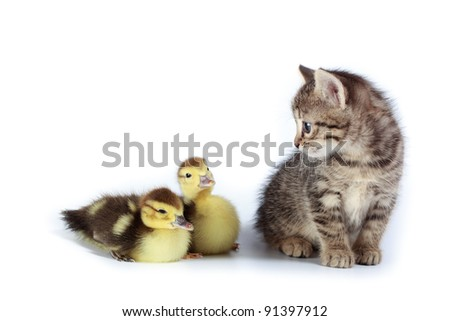 Kitten and ducklings in studio against a white background.