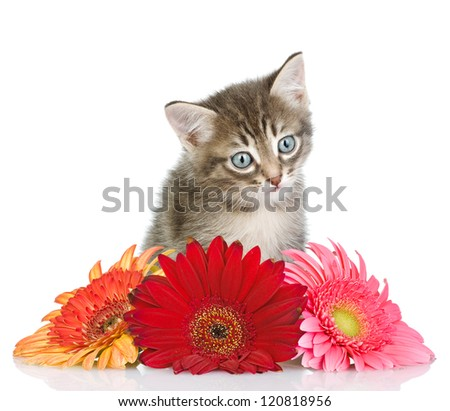 kitten and flower looking at camera. isolated on white background