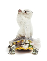 kitten and turtle on a white background isolated