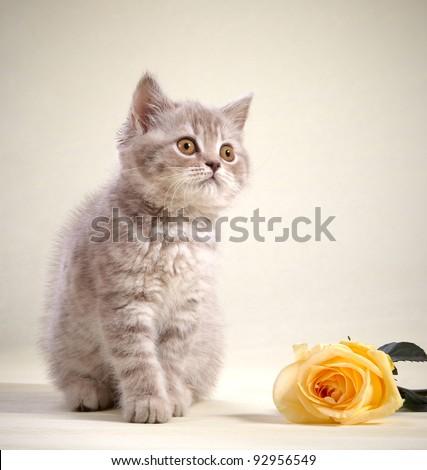 kitten and yellow rose