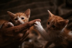 Kitten baby cats playing together in withe background adorable pet concept
