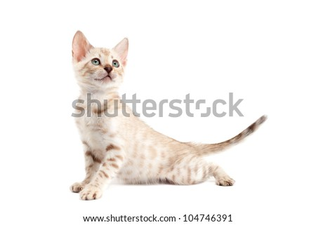kitten  Bengal breed. Isolated on white background.