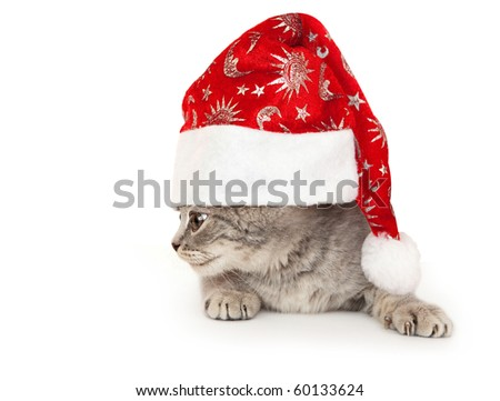 Kitten British rock in the New Year hat. In the Oriental calendar 2011 - the year of cat.