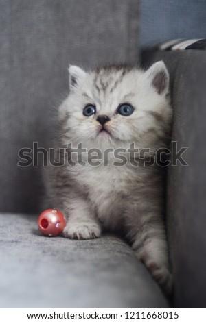 kitten cat scottish straight, lop-eared fluffy, animal #1211668015