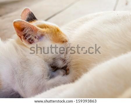 Kitten drinking milk from mom's milk