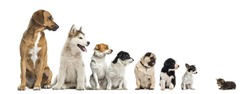 Kitten facing dogs of different heights, isolated on white