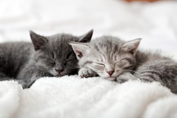 Kitten family in love portrait. Adorable kitty noses for Valentine Day pet love. Couple happy kittens sleep relax together. Cozy home animal sleeping comfortably have sweet dreams.