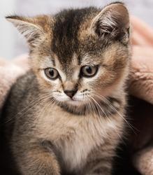 Kitten golden ticked british chinchilla straight, close up