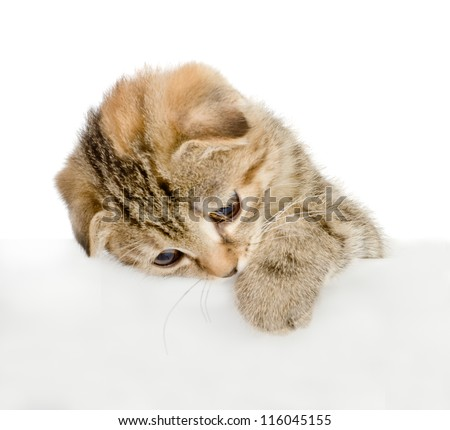 Kitten hanging over blank poster-board. isolated on white background