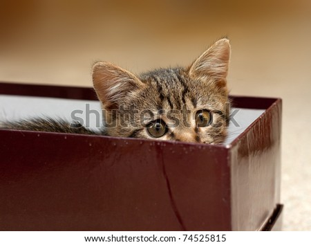 kitten has hidden and looks from a box