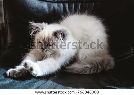Kitten Himalayan Persian stretch on black, leather chair, indoor, blue eyes, furry male. Doll cute sleepy face. Himalayan cat breed information, pictures, characteristics and facts.