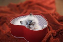 kitten in a box in the heart. Festive cat. 14 February