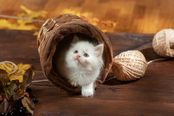 kitten in a wicker basket plays. Bicolor Rag Doll Cat at home