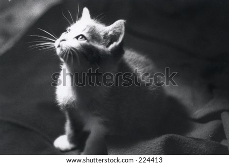 kitten in spotlight