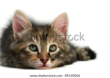 Kitten - isolated on white
