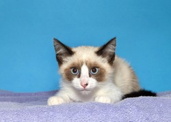 kitten laying on a purple blanket looking directly at viewer with beautiful blue eyes, blue background with copy space