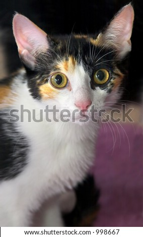 Kitten looking at the camera with big eyes