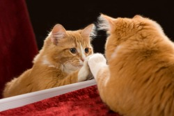 Kitten looking in mirror at it's reflection