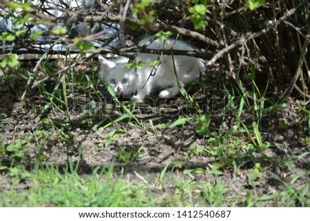 Kitten looks out from under the Bush. Fluffy white cat under a Bush. Stray cat in the garden, hiding under a Bush. Cat close-up, looking at the camera. Blue-eyed hite cute cat hiding.