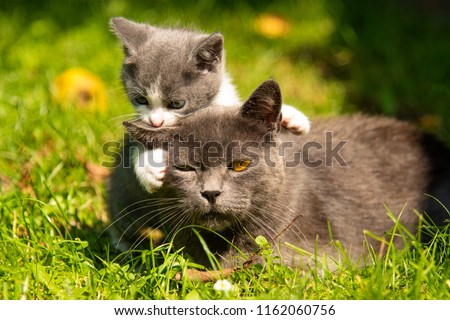 Kitten mother cat kisses. Cat hugs kitten and presses his face to the kitten. Cat tightly holding the baby kitten. The cat is gray, fluffy. Family of cats.
