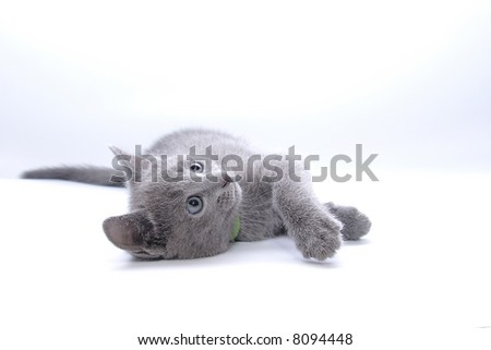 kitten of breed Russian blue lays