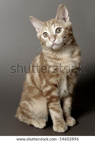 kitten on a gray background (breed - kurilian bobtail)
