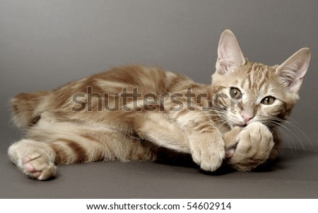 kitten on a gray background (breed - kurilian bobtail)