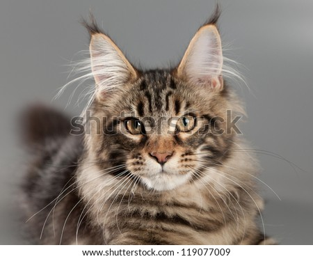 Kitten on a gray background. Maine Coon