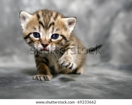 Kitten on Grey background