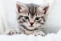 Kitten peeks out holding by paws. Happy Kitten baby looking at camera. Cat Portrait. Grey tabby fluffy kitten hiding behind blanket on couch. Playful cat resting on soft white blanket at home alone.