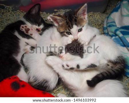 Kitten pile, kitten on top biting head of her brother #1496103992