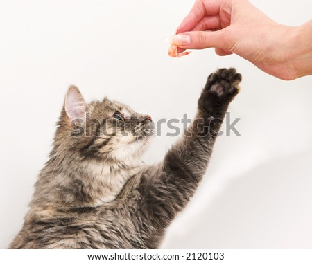 Kitten playing to get a shrimp