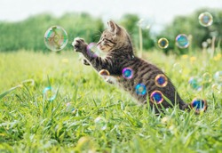 Kitten playing with soap bubbles on green field in summer, side view