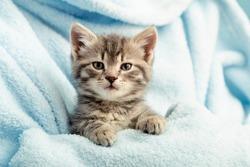 Kitten portrait with paws. Cute tabby kitten in blue plaid. Newborn kitten Baby cat Kid domestic animal. Home pet. Cozy home winter