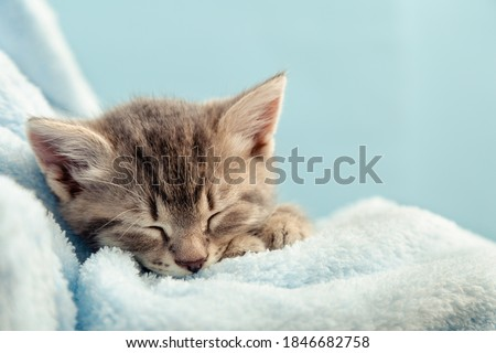 Kitten portrait with paws. Cute tabby kitten sleep in blue plaid. Newborn kitten Baby cat Kid domestic animal. Home pet. Cozy home winter. Closeup with copy space