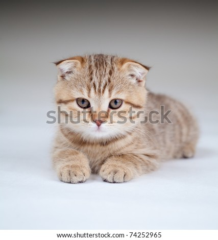 kitten pure breed Striped british