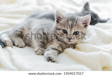 Kitten relax lies on white soft blanket. Cats rest napping on bed. Comfortable pet cat portrait lies at cozy home on white soft blanket. Long web banner Stock fotó ©